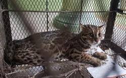Tiếp nhận và thả về tự nhiên cá thể mèo rừng quý hiếm