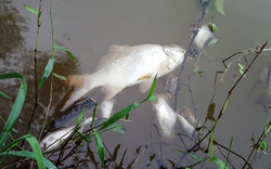 TT - Huế: Cá tự nhiên chết bốc mùi, dân lo ô nhiễm