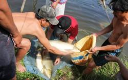 Nông dân khóc ròng vì hàng chục tấn cá chết trắng trước thu hoạch
