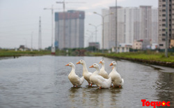 Khu đô thị ngập lụt quanh năm trở thành nơi chăn thả vịt