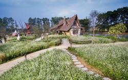 Ở Hà Nội - Ngắm cánh đồng hoa tam giác mạch