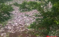 Mưa đá rơi trắng xóa nông trường Mộc Châu, người nông dân khóc ròng mất mùa mơ mận