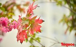 """Không phải đi Châu Âu ngắm """"phong lá đỏ"""", những cây phong ở Hà Nội đã bắt đầu đổi mầu"""