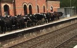 """Khách du lịch Anh hoãn tàu do đàn bò bất ngờ """"xâm lược"""" sân ga"""