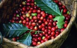 Nông dân phản đối, Brazil hoãn nhập khẩu cà phê Việt Nam