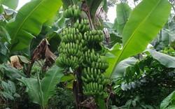 Cách trồng và chăm sóc cây chuối lùn đạt hiệu quả kinh tế cao