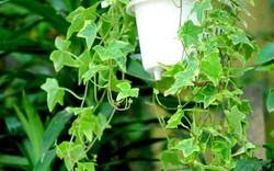 Cách trồng dây thường xuân vững vàng trong thời tiết lạnh