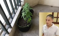 Hà Nội: Thuê chung cư tại KĐT Nam Thăng Long để  tự canh tác cần sa