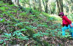 Thủ tướng yêu cầu Kon Tum và Quảng Nam cần Phát triển ngành công nghiệp trồng và chế biến sâm Ngọc Linh