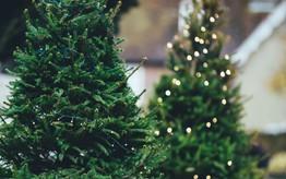 Nhộn nhịp thị trường cây thông thật mùa Giáng sinh: Từ vài triệu đến cả trăm triệu một cây