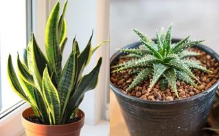 10 loại cây trồng trong nhà có thể gây ảnh hưởng xấu đến sức khỏe của bạn