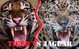 Báo đốm, loài báo to lớn nhất và hổ Sumatra, loài hổ nhỏ bé nhất, loài nào mạnh hơn?