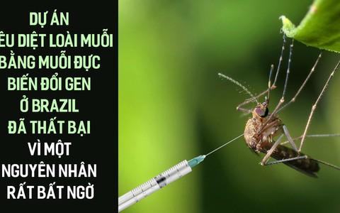 Dự án tiêu diệt loài muỗi bằng muỗi đực biến đổi gen ở Brazil đã thất bại vì một nguyên nhân rất bất ngờ
