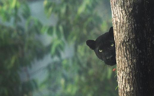 Nhiếp ảnh gia dành 12 tiếng/ngày trong 5 năm liên tục, lang thang trong rừng để chụp được chú báo đen đẹp như bước từ trong The Jungle Book ra