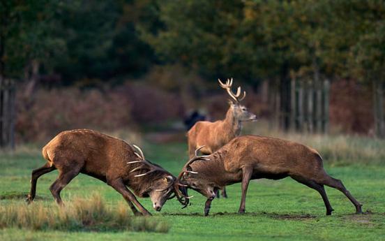 24h qua ảnh: Cặp hươu đực quyết chiến giành bạn tình trong mùa thu