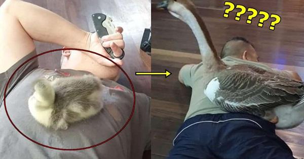 Chàng trai chia sẻ hình ảnh ngỗng cưng theo mình từ nhỏ, dân tình đột ngột soi đấy là loài ngỗng hiếm nhất Việt Nam - xs chủ nhật