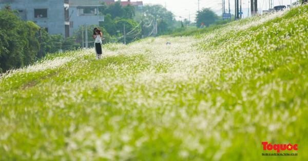 Mê mẩn với cánh đồng cỏ tranh trắng muốt tại Hà Nội