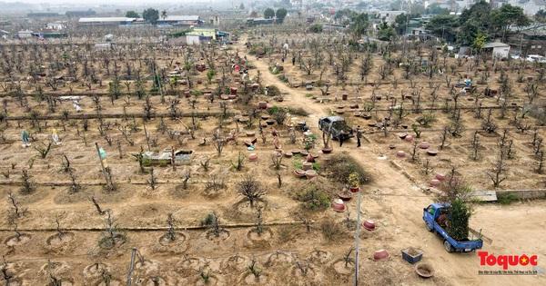 Làng đào Nhật Tân nhộn nhịp 'đón con' về vườn sau Tết Nguyên Đán